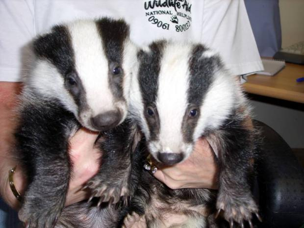 Wildlife charity brands badger cull a 'catastrophic blunder'