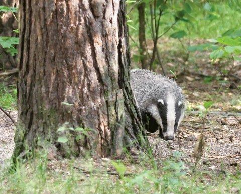 Campaigners fear that several badger setts could collapse due to the new housing development in Mill Lane, Epsom