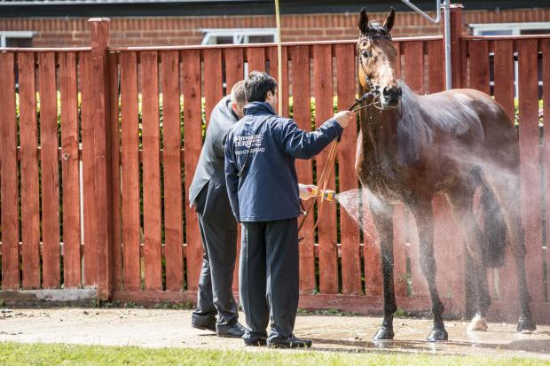 Epsom Guardian: Horses being cooled off